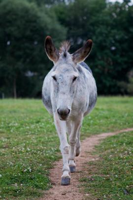 Esel Bobo, Eselzentrum Heusweiler, Hausesel