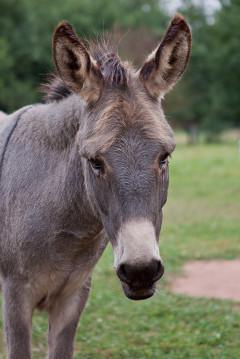 Esel Olli, grauer Hausesel, Eselzentrum Saarland